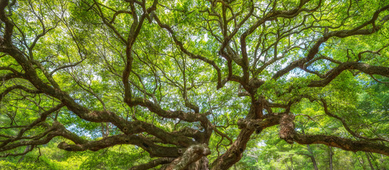 Panorama of branches from the Angel Oak Tree Wall mural