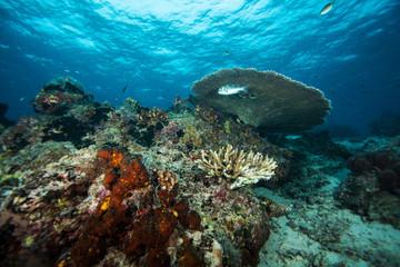Fotobehang Koraalriffen Underwater landscape. Similan islands. Andaman sea. Thailand.