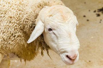 Sheep Head Portrait