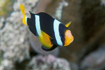 Clownfish close-up. Similan islands. Andaman sea. Thailand.