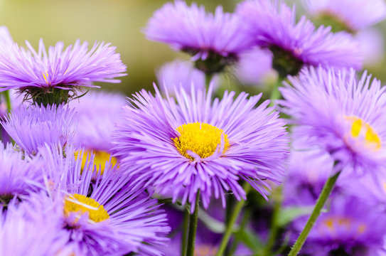 Asters with thin violet petals
