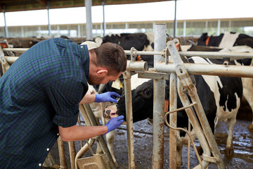 man or farmer with cows in cowshed on dairy farm