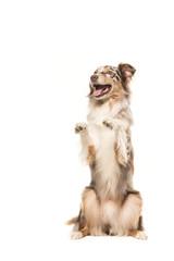 Funny begging australian shepherd dog on a white background