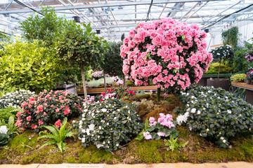Bushes of azaleas blooming in the greenhouse botanical garden