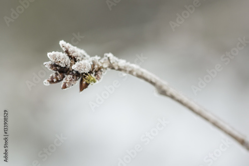 frozen buds on a - photo #17