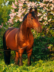 bay horse at blossom bush background in last sun rays