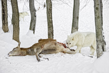 A white wolf feeding on a deer carcass.