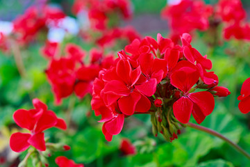 Red Geraniums in the summer garden.