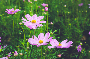 pink cosmos in the park.