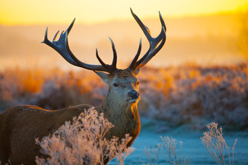 Red deer in a frosty forest clearing at sunset.