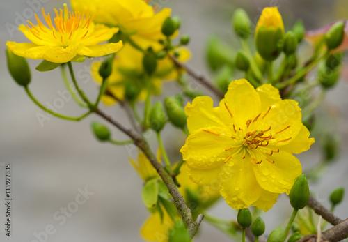 Ochna integerrima the symbol of vietnamese lunar new year in south ochna integerrima the symbol of vietnamese lunar new year in south the golden yellow mightylinksfo
