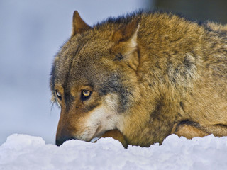 A submissive wolf in the snow.