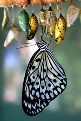 A black and white patterned butterfly emerging from its chrysalis.