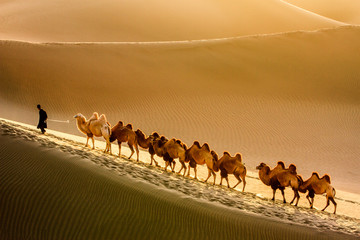 Man leading a row of camels over sand dunes in the desert.