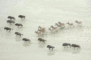 Wildebeest and zebra in a desert.