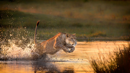 A lioness running through a river.
