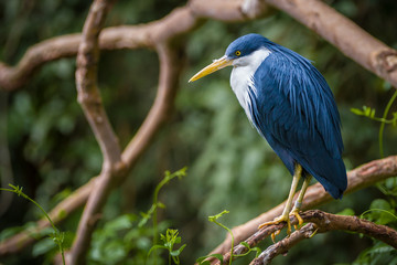 A pied heron perching on a branch,