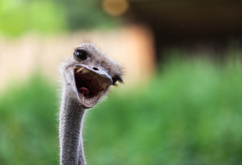 An open mouthed ostrich.