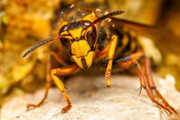 Close up of a wasp.