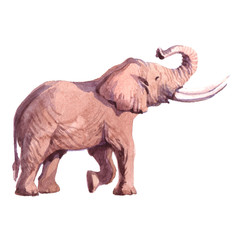 Watercolor realistic  elephant tropical animal isolated on a white background illustration.