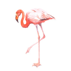 Watercolor realistic flamingo bird  tropical animal isolated on a white background illustration.