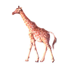 Watercolor realistic  giraffe tropical animal isolated on a white background illustration.