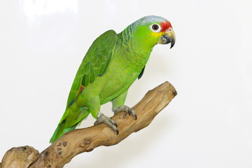 Colorful parrot landed on branch, isolated on white, Lilacine Amazon