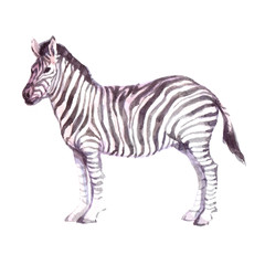 Watercolor realistic zebra animal isolated on a white background illustration.
