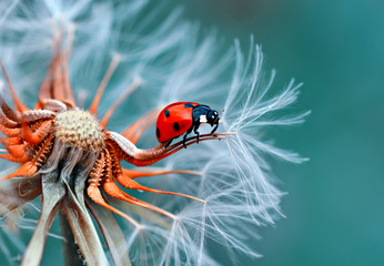 A ladybird on a dandelion.