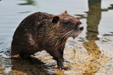 A beaver at a river.