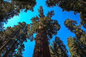 Giant sequoia looking at the sky. Giant