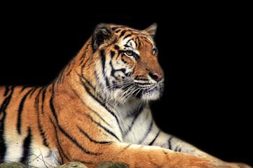 A Siberian tiger.