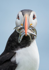 A puffin with a beak full of fish.