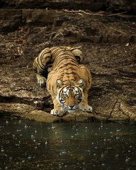 A tiger drinking from a lake in the rain.