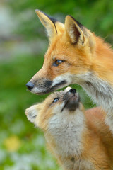 A fox with its young.