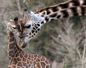 A mother and baby giraffe.