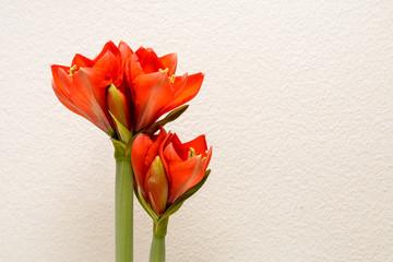 Rote Blume mit weissem Textfreiem Hintergrund