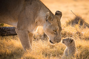 A lioness and her cub.