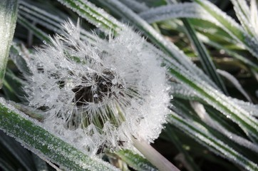 frozen dandelion in the grass