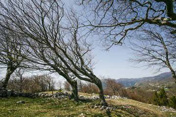 Bent trees of constant bora wind