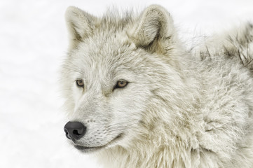 An Arctic wolf in the snow.