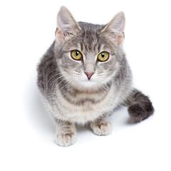 gray tabby kitten on white