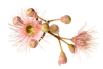 Pink Eucalyptus Flower with Buds Isolated on White