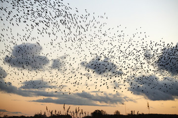 Low angle view of birds flying against sky during sunset