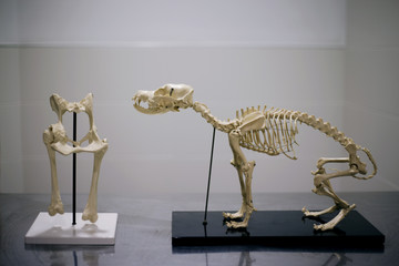 Dog skeletons in hospital