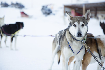 Portrait of Siberian Husky tied up with chain on snowy field