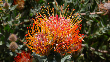 Beautiful exotic flower from South Africa