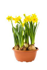Growing spring yellow narcissus. Isolated over white background