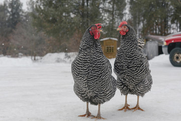 Hens standing on snow covered field