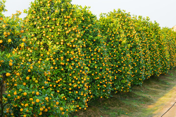 "Kumquat garden, the symbol of Vietnamese lunar new year. In nearly every household, crucial purchases for Tet include the peach ""hoa dao"" and kumquat plant"